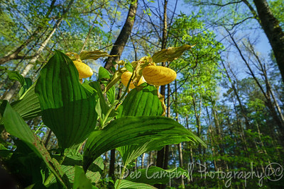 Large Yellow Lady's Slipper Orchid