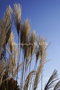 tall feathery grasses against a blue sky