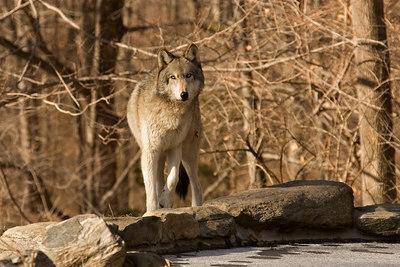 Wolf stare unsharpened-9475