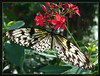 Butterfly2s