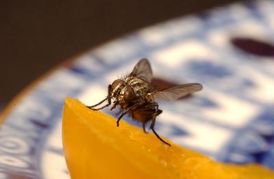 Husflue som spiser (© Ragnar Våga Pedersen)