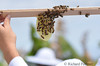 frame from top bar hive where bees are producing their own comb