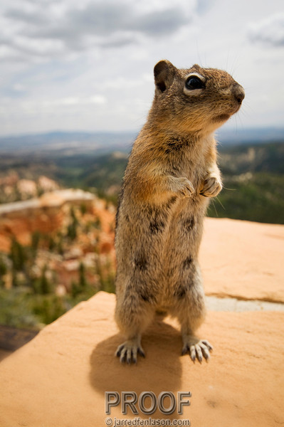 Curious Chipmunk of Bryce Canyon