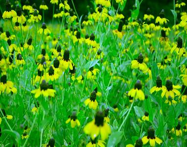 Clasping-Leaf Cone-Flower Innis, La. 2009