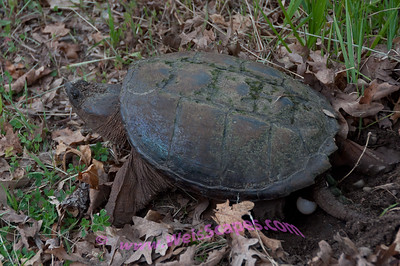 Snapping Turtle laying egg