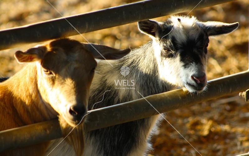 Goats in Pen by jduran