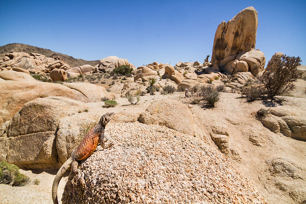 A large Western Chuckwalla surveys his domain over White Tank, one of the boulder-filled campgrounds in Joshua Tree National Park.