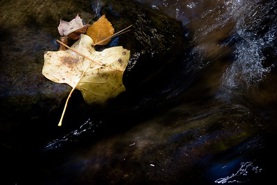 Oak leaf, stranded in the stream.