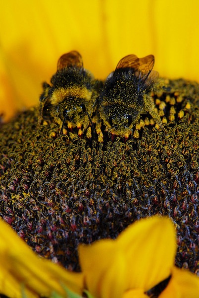 Humle dekket av pollen (© Ragnar Våga Pedersen)