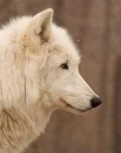 Wolf Profile-9054