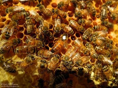 Queen Bee (marked)