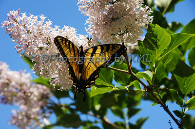 a tiger swallowtail butterfly in a lilac