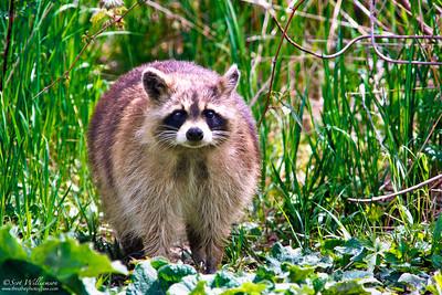 Raccoon Standoff