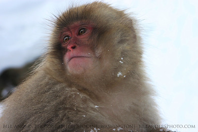 Baby Snow Monkey.  Jigokudani Yaenkoen, Yamanouchi, Nagano, Japan.
