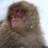 Baby Snow Monkey.<br /> <br /> Jigokudani Yaenkoen, Yamanouchi, Nagano, Japan.