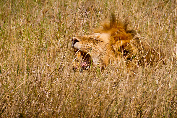 A powerful yawn from a male lion lying low in the grass. The lion's dark mane is looks like a bad hair day. The primary role of the mane is to protect male lions during fights, and interestingly, it has been found that females prefer males with bigger, darker manes.