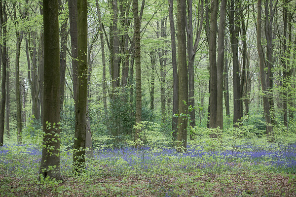 Micheldever Bluebell Woods
