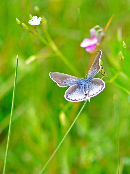 Swedish butterfly