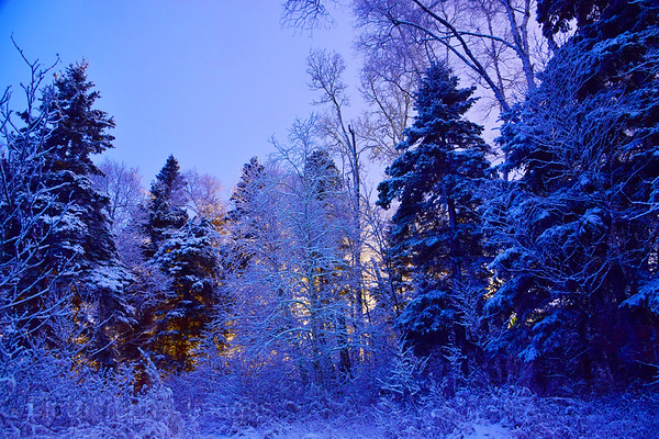 Snow On The Forest,