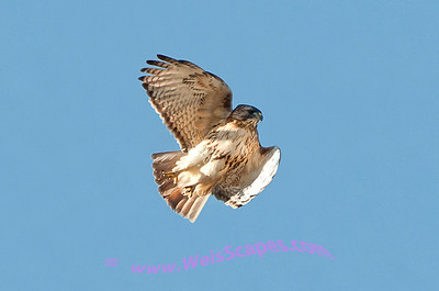 Red Tail hawk in flight.
