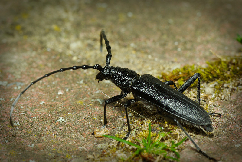 "A small beetle that has crossed my path, 4cm (1,57"") long without antennae. Not to be confused with oak Capricorn."