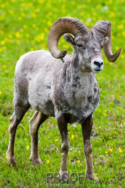 Big Horn Sheep - Glacier National Park