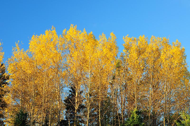 Golden Leaves In Golden Light