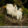 Larry, Curly and Moe --- fledglings shot at the High Island Rookery on Bolivar Island, Galveston Tx.