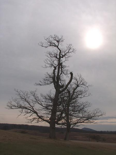 Tree Big Medows