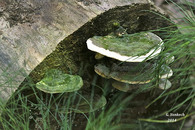 possibly Trametes gibossa