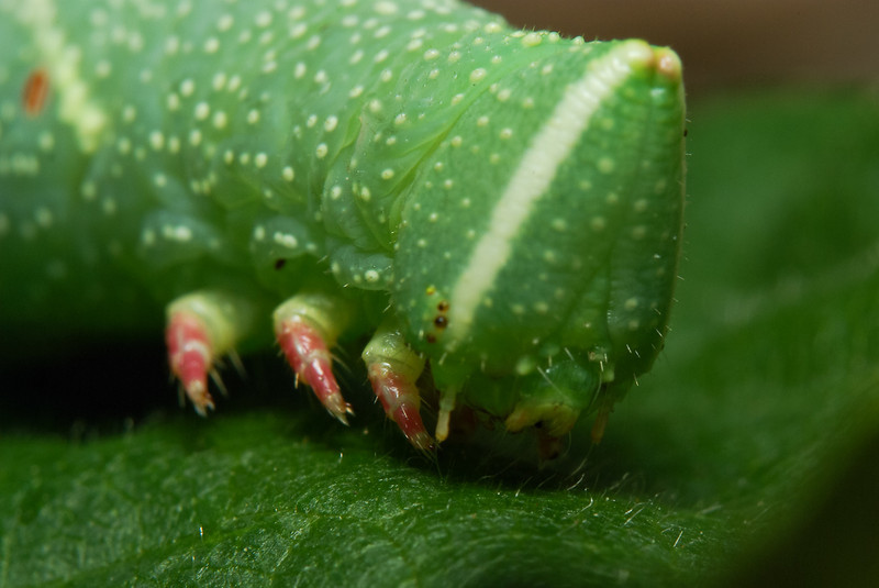 The Moro sphinx caterpillar, large moth. View of his head.