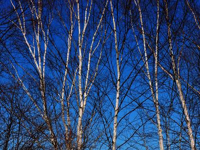 Birch Trees, In Spring, 2018