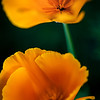 Twin California Poppies