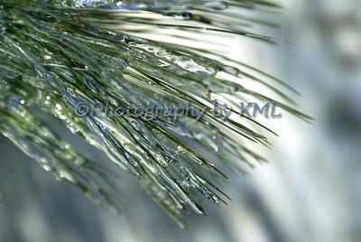 Iced Pine Needles