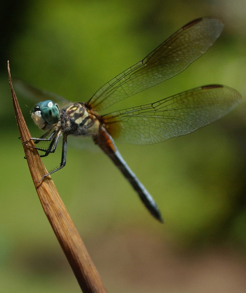 E.L. HUBBARD/JOURNALNEWS<br /> A Blue Darner dragonfly rests on a leaf in a neighborhood near Shaffers Run Sunday, 6/27/04.