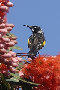 _MCG0052 new holland honey eater