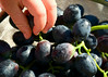 Grapes from our backyard.  Thanks Neighbors!<br /> Santa Clara, California<br /> July 30, 2009