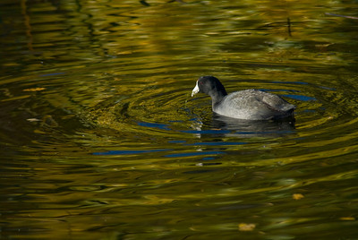 Coot on Golden Pond
