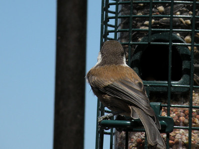 Chickadee, Chestnut-backed -photo 2