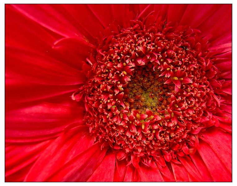 Red Flower Lg Fr