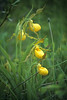 Yellow Lady's Slipper<br /> Alger County, Michigan