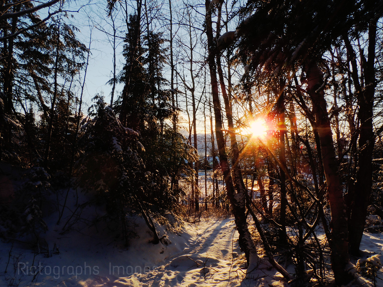 Trees In The Boreal Forest, Winter 2016