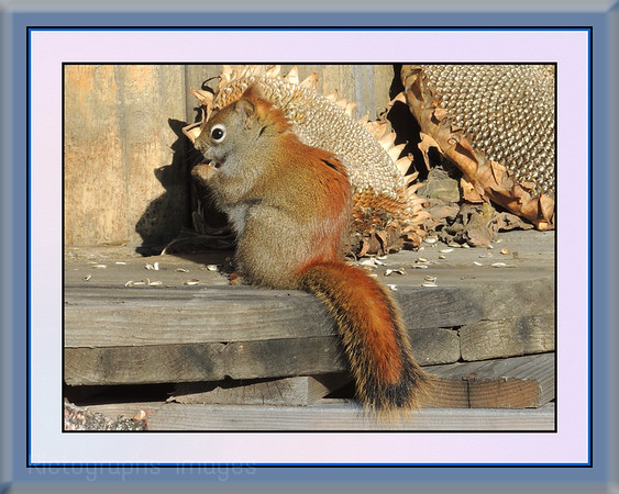 A Red Squirrel Enjoying Sun Flower Seeds,  Ric Evoy Rictographs images