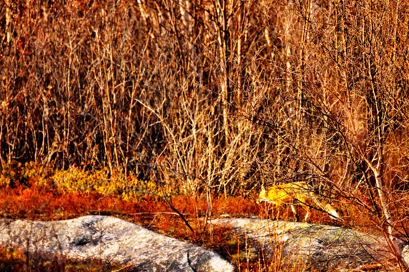 A Red Fox in the Forest, Part of the Wildlife that can be Found in Northwestern Ontario.