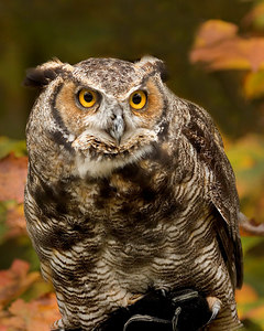 great horned owl 12746 printed 8x10