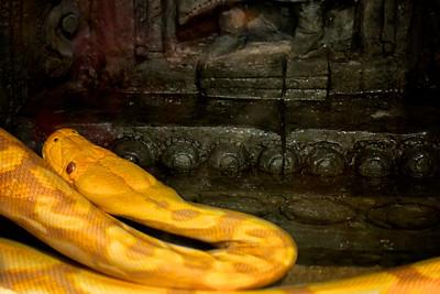 Lemondrop - a 15 foot male Python snake. A day at the California Academy of Sciences ref: 73ac13b9-6aee-45a0-87b1-0c86cb9b906b