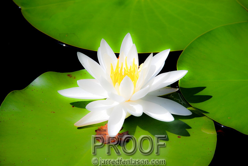 Flower on the Lily Pad