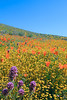 flowers on hillside california