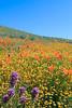 flowers on hillside california