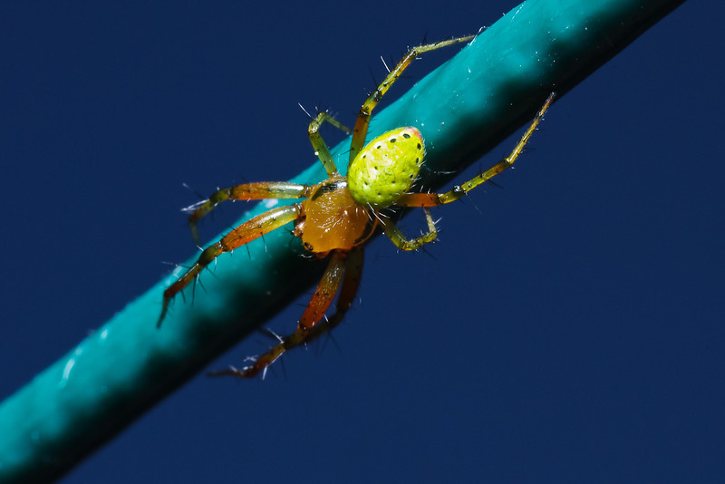 Spider Courge - Araniella cucurbitina - wanders on a clothesline